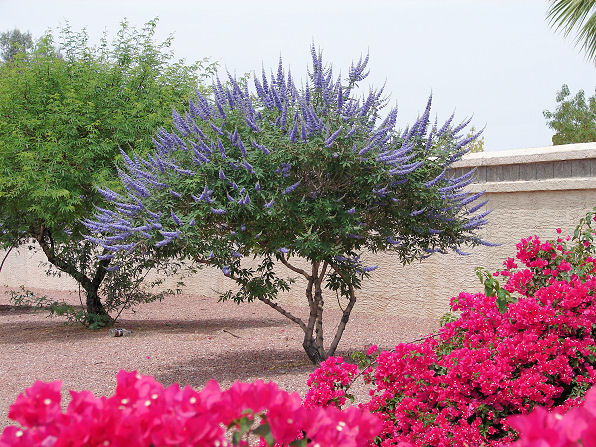 Arizona Trees - Arizona Living Landscape & Design
