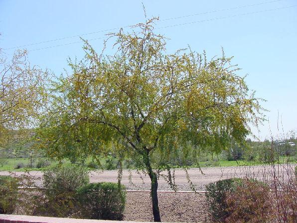 Arizona Trees Arizona Living Landscape Amp Design