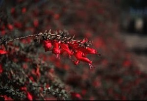 Eremophila_Valentine-emu Bush