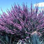 Chihuahuan-Sage