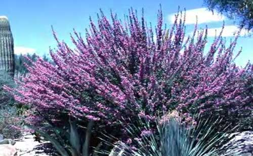 arizona desert plants guide, Natural flower