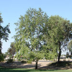 Arizona Sycamore Tree