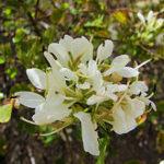 Anacacho Orchid Tree