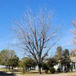 Pecan Nut Tree