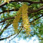 Chilean Mesquite