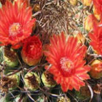 Fish-Hook-Barrel-cactus