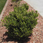 Japanese Boxwood Bush