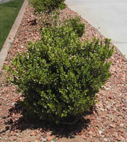 Arizona desert plants guide for Small slow growing evergreen trees