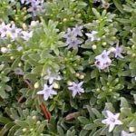 Myoporum_parvifolium_groundcover