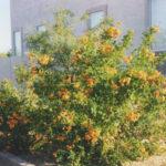Orange_Jubilee