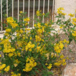 Yellow Bell Bush