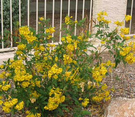 Arizona Yellow Bell