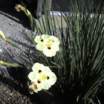 bicolor_iris