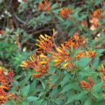 fire-cracker-bush