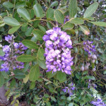 texas_mountain_laurel