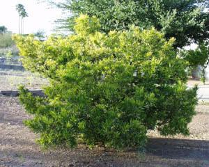 Hopseed Bush