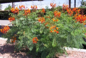 red-bird-of-paradise-