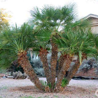 Mediterranean Fan Palm – Chamaerops humilis