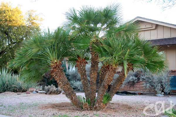 Palms Archives - Arizona Living Landscape & Design