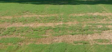 bermuda lawn bug infestation