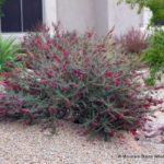 Eremophila maculata Valentine Bush
