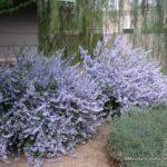 leucophyllum_laevigatum_rademacher_chihuahuan-sage